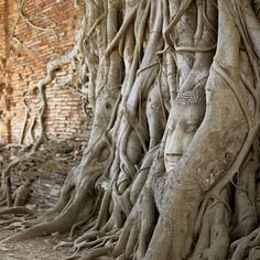 Fig tree roots growing over the ruins of a Buddha statue.