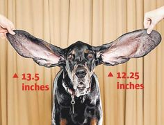"""Harbor, a black and tan coonhound from Boulder, has earned a spot in the 2012 Guinness World Records for his elongated ears. Harbor, who is owned by Jennifer Wert, has earned the title of """"longest ears on a living dog."""" (Ryan Schude/Guinness World Record )"""