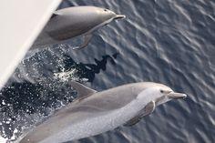 Dolphins bow riding.jpg (800×533)