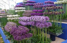 100 pcs Giant Allium Giganteum Beautiful Flower Seeds Garden Plant the rare flower seeds for flower pot planters