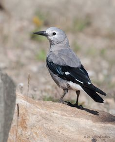 The Clark's Nutcracker - Nucifraga columbiana, ia a passerine bird in the family Corvidae. It can found from British Columbia and western Alberta, north to Baja California and western New Mexico. Photo by Ron Dudley