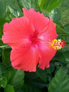 Tropical pink hibiscus flower