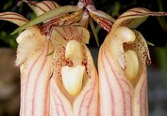 Bulbophyllum  longissima (allison_sfbay) Tags: orchids bulbophyllum longissima