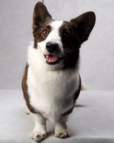 Coco the Cardigan Welsh Corgi at the Westminster Dog Show. (Photo: Fred R. Conrad/The New York Times)