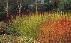 In der laublosen Jahreszeit setzen Bäume und Sträucher mit auffallend gefärbter und gemusterter Rinde und weithin leuchtenden Trieben dekorative Akzente im Garten.