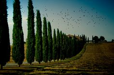 While walking about in Tuscany, I stopped to make an image that would remind me of the beauty of the place. In capturing the cypress trees and birds, I wished to convey a sense of the geometry of place.