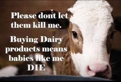 """Dairy supports the veal industry by taking male calfs away from the mother at birth and confining them to small crates to create """"tender"""" beef and the mother is exploited for her milk. Dairy-free is easy now with soy, almond, hemp, hazelnut and oat milks, and a delightful variety of artisan vegan cheeses, as well as Daiya or Follow Your Heart for sandwiches and pizza. Green leafy vegetables, almonds and black strap molasses all contain calcium."""