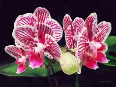 Zebra orchid - Phalaenopsis Orchid Taida Little Zebra  Photograph by Susan Savad - is an orchid with reddish linear leaves and panicle of purple-marked pale-yellow flowers with deep red or purple lip; southwestern Australia.