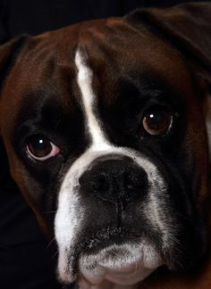 Superb portrait. The Boxer Dog--Photographed by Danny Cain, Serenity Photography Limited