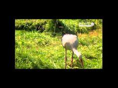 Gólyák vándorlása - YouTube
