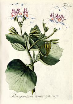 Johann Christoph Wendland, passion flower, 1810