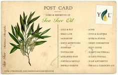 Essential Oil Spotlight : Tea Tree © Graphics are property of Aromatherapy For Australia. Please do not use images without permission. Tea Tree Essential Oil, Essential Oil Uses, Young Living Essential Oils, Holistic Care, Holistic Healing, Healing Oils, Healing Herbs, Melaleuca Oil Uses, Tea Tree Oil Uses
