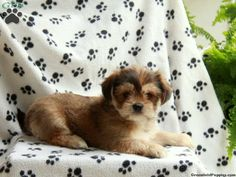 Shorkie Puppies For Sale In PA!