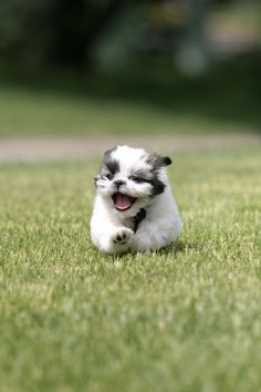 shih tzu running by ~seerich on deviantART