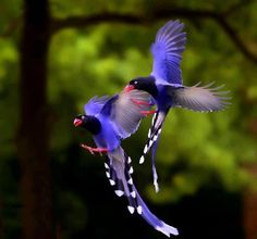 """Taiwan Blue Magpies.  The Taiwan Blue Magpie also called """"long-tailed mountain lady"""", is a member of the Crow family. It is an endemic species living in the mountains of Taiwan at elevations of 300 to 1200m.."""