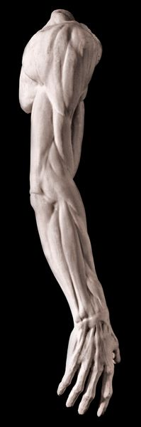 Male Anatomical Arm by Jean Antoine Houdon