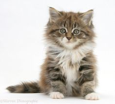 Today, most breeders believe that the Maine Coon originated from matings between shorthaired domestic cats & longhaired cats introduced to New England by seamen & Vikings. Description from pinterest.com. I searched for this on bing.com/images
