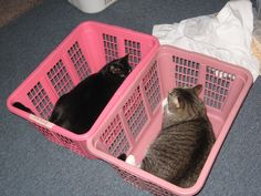 """Brinx  Sarah. They love to get in the laundry baskets and go for what we call """"basket rides""""!  I just slide the feline filled basket all around me back and forth and around in circles. Stopping Going Stopping Going!  They love it!!  lol"""