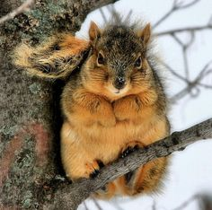 It's fat squirrel season! I love fat squirrel season! Nature Animals, Animals And Pets, Baby Animals, Funny Animals, Cute Animals, Squirrel Season, Fat Squirrel, Photo Animaliere, Hamsters