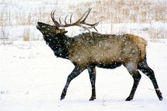 elk in snow - Google Search