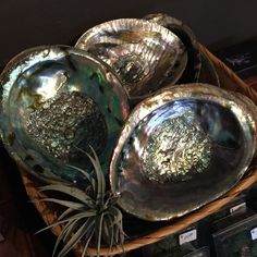 "Large abalone shells measuring approximately 5-6"" wide. They make great jewelry holders, as well as simple decorations around the home! (Each shell is sold separately)."