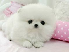 really cute dogs and puppies for sale Teddy Bear Pomeranian, White Pomeranian Puppies, Teacup Chihuahua Puppies, Teacup Pomeranian, Merle Pomeranian, Pomsky Puppies, Lab Puppies, Husky Puppy, Cute Baby Dogs