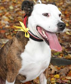 What It Means When You See a Yellow Ribbon on a Dog's Leash.  It means your dog is like mine and may not act well around other dogs...proceed with caution!