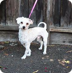 Corona, CA - Maltese/Bichon Frise Mix. Meet Louie, a dog for adoption. http://www.adoptapet.com/pet/12965329-corona-california-maltese-mix
