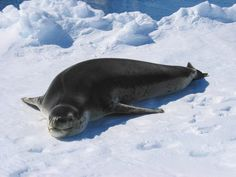 The leopard seal (Hydrurga leptonyx), also referred to as the sea leopard, is the second largest species of seal in the Antarctic (after the southern elephant seal)