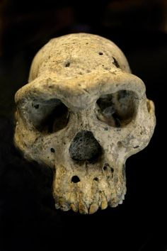 DMANISI, Georgia (AP) — The discovery of a skull of a human ancestor buried under a medieval Georgian village provides a vivid picture of early evolution and indicates our family tree may have fewer branches than some believe, scientists say. Brain Size, Historia Natural, Early Humans, Human Evolution, Georgia, Aliens And Ufos, Thing 1, Ancient Artifacts, Primates