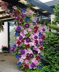 """Never thought to mix Clematis close together like that.-""""Clematis are lovely bright colored climbing flowers that will light up any garden. They are """"friendly"""" plants that grow well with others and grow upwards of feet. Climbing Clematis, Clematis Plants, Clematis Vine, Flowers Perennials, Planting Flowers, Clematis Flower, Flower Gardening, Climbing Vines, Clematis Varieties"""