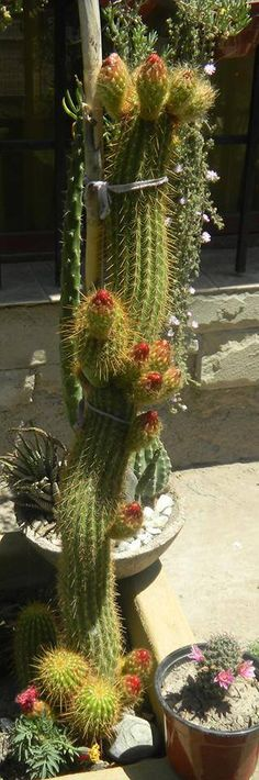 I would like one that's this big! Cactus Types, Types Of Succulents, Succulents In Containers, Cacti And Succulents, Planting Succulents, Cactus Plants, All About Plants, Succulent Gardening, Succulent Arrangements