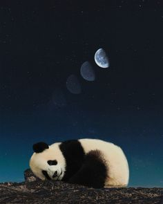 Panda sleeping Art Print by unrealworld Panda Facts, Black Cat Aesthetic, Sleeping Panda, Panda Images, Wild Animals Photography, Baby Panda Bears, Cute Panda Wallpaper, Panda Wallpapers, Cute Animal Drawings Kawaii
