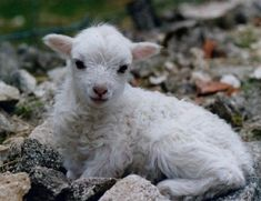 Super Cute Animals, Cute Baby Animals, Animals And Pets, Beautiful Creatures, Animals Beautiful, Lamas, Barnyard Animals, Cute Sheep, Sheep And Lamb