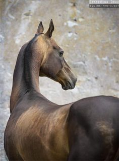 Akhal Teke from behind Most Beautiful Horses, All The Pretty Horses, Horse Markings, Akhal Teke Horses, Horse Anatomy, Horse Ears, Horse Pictures, Horse Photography, Horse Breeds