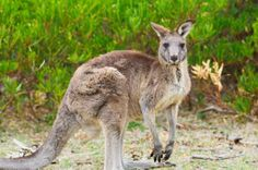 Australian Marsupial List | ... australia and new guinea which was conjoined with australia until