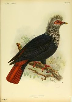 """Alectroenas nitidissimus, Mauritius Blue-pigeon. _Extinct birds _ 1907""""This species was found on Mauritius, but it has been hunted to extinction. The last reports date from 1832 and it is thought to have been Extinct a few years later.""""http://www.birdlife.org/datazone/speciesfactsheet.php?id=2708"""