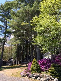 Azaleas in bloom last spring. Come see them this year. Lincolnville Maine, Come And See, Cottages, Pine, Bloom, Vacation, Plants, Garden, Pine Tree