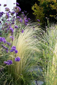 Verbena and Stipa