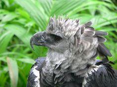 Aigle Harpie / Eagle Aigle Harpie, Harpy Eagle, Cute Little Things, Mundo Animal, Owl, Fantasy, Bird, Image, Save Life