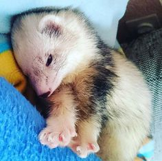 need this baby in my life Ferret Toys, Baby Ferrets, Funny Ferrets, Pet Ferret, Funny Animal Memes, Funny Animals, Cute Animals, Cute Animal Photos, Animal Pictures