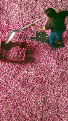 Worker at Perfume Factory gathering flower petals for the process of making perfume!! Just imagine the lovely scents!!!