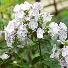 Beloved by gardeners, bees, and butterflies, phlox adds showy flowers starting in early summer and continuing through the season. Many are also wonderfully fragrant, especially on warm, humid evenings. The scent can fill the yard
