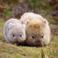 Wombats mom and baby, cute wombat, baby wombat, beautiful creatures, nature animals Baby Wombat, Cute Wombat, Cute Baby Animals, Animals And Pets, Funny Animals, Mother And Baby Animals, Nature Animals, Wild Animals, Beautiful Creatures