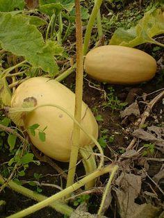 Dýně Honeydew, Eggplant, Fruit, Vegetables, Food, Hokkaido, Essen, Eggplants, Vegetable Recipes
