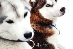 Beautiful dogs... Love Huskies!