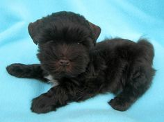 Cute little Schnauzer puppy at Shining Star Schnauzers breeder in Oregon!  I have a  baby from here !