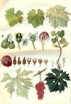 Caracteres de las cepas de las variedades de vid
