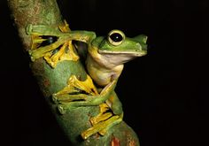 Close-up of Wallace's Flying Frog