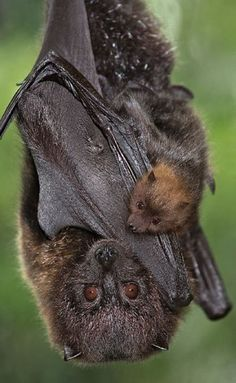 Rodrigues fruit bats are only found on the Rodrigues Island in the Indian Ocean and are critically endangered.  This is a great photo of a bat with pup! <3